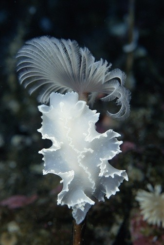 Photo:  Dorid nudibranch (Tritoniella belli)